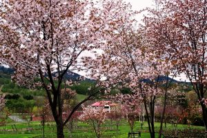 札幌のお花見情報2021(4月28日更新)