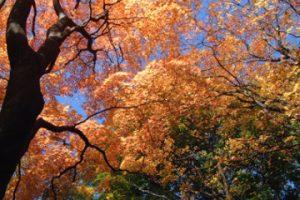 秋の園内風景 オオモミジ