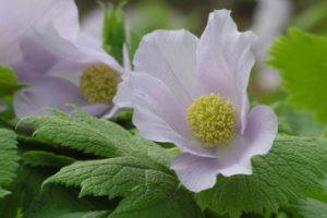 春の花 シラネアオイ