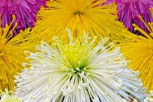 Sapporo Chrysanthemum Festival