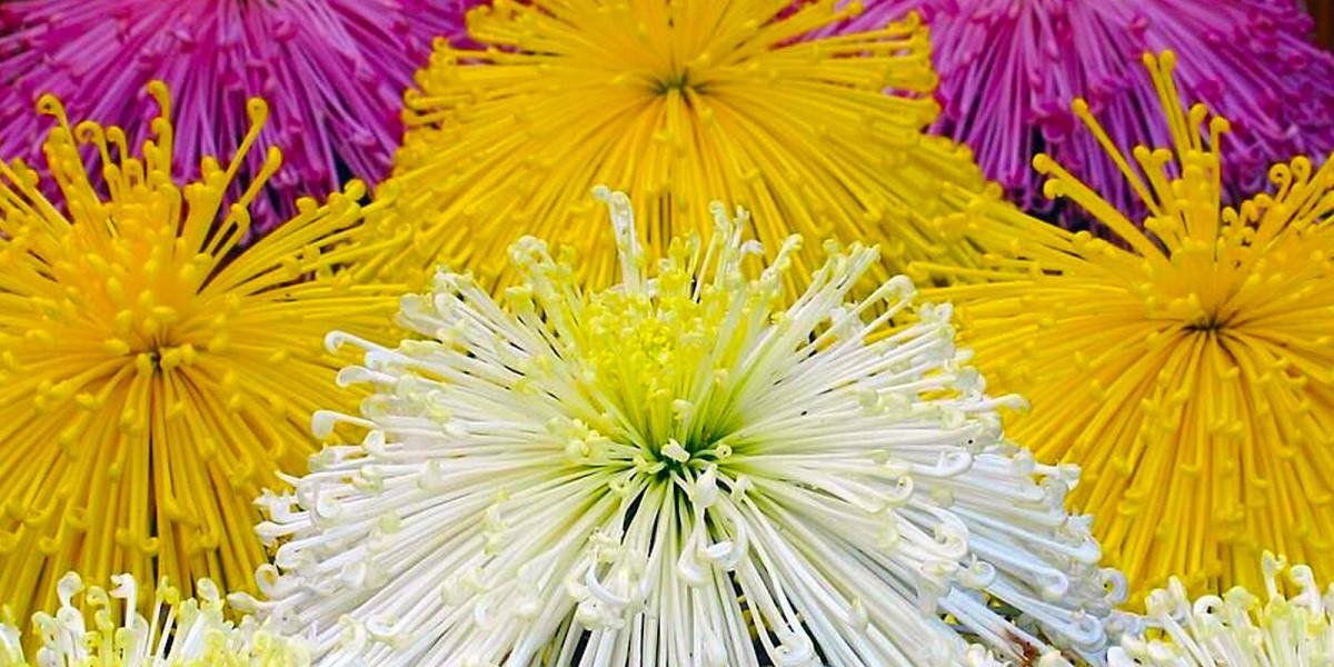 เทศกาลดอกเบญจมาศซัปโปโร