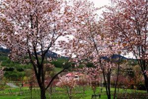 春~エゾヤマザクラ